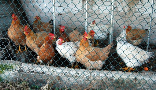 """L'80% delle galline ovaiole piemontesi cresce già a terra"""