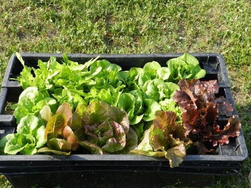orto e insalata