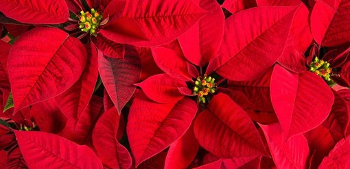 Le stelle di Natale di AIL colorano Pianezza